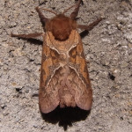 Wurzelbohrer (Swift Moths, Hepialidae)