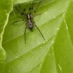 Zartspinnen (Anyphaenid Sac Spiders, Anyphaenidae)