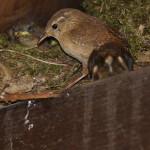 Zaunkönige (Wrens, Troglodytidae)
