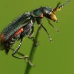 Zipfelkäfer (Soft-winged Flower Beetles, Malachiidae)