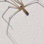 Zitterspinnen (Cellar Spiders, Pholcidae)