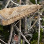 Zünsler (Snout Moths, Pyralidae)