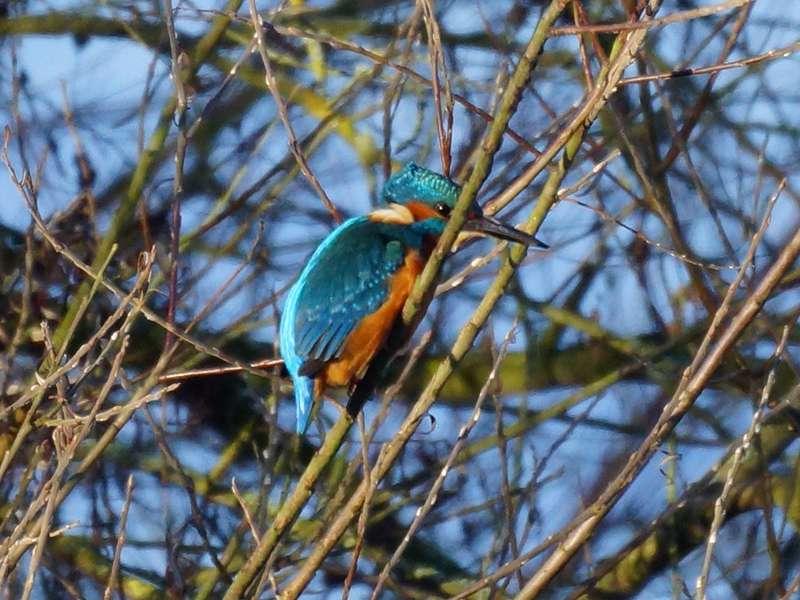 Eisvogel (Common Kingfisher, Alcedo atthis); Foto: 01.01.2014, Witten-Heven