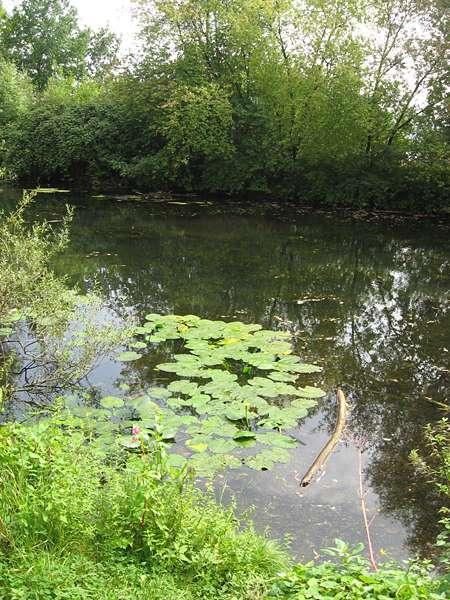 Ruhiges Altwasser am Kemnader See; Foto: 29.08.2008, Bochum-Stiepel