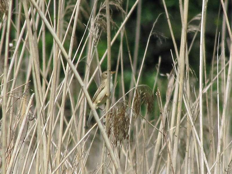 Sumpfrohrsänger (Acrocephalus palustris) in den Halmen zu entdecken, ist oft nicht leicht; Foto: 07.06.2014, Dortmund-Bövinghausen