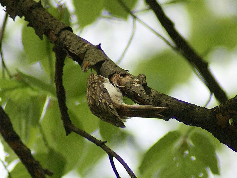 Gartenbaumläufer (Certhia brachydactyla) im Aaper Wald; Foto: 27.04.2008, Düsseldorf-Rath