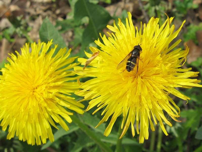 Breitband-Waldschwebfliege (Dasysyrphus tricinctus) im Aaper Wald; Foto: 27.04.2008, Düsseldorf-Rath