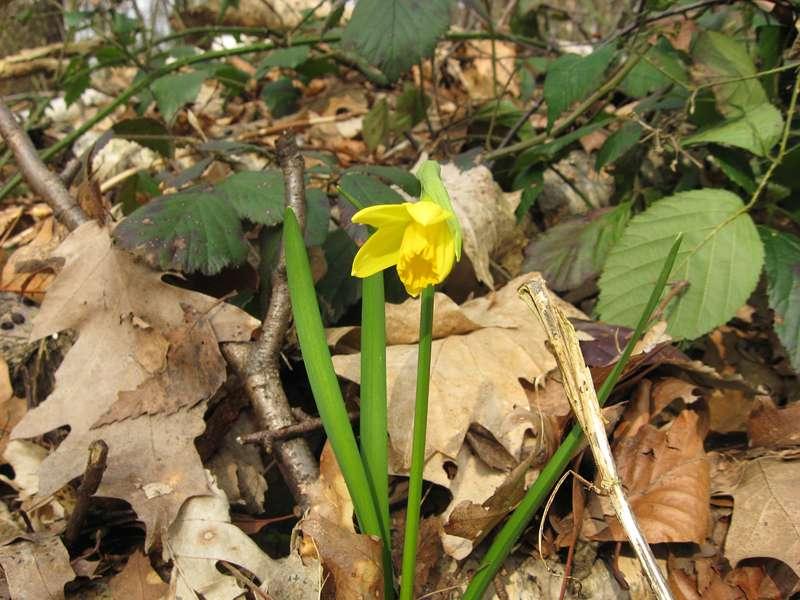 Gelbe Narzisse (Narcissus pseudonarcissus) im Aaper Wald; Foto: 14.03.2009, Düsseldorf-Rath