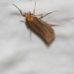 Echte Motten (Moths, Tineidae)