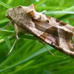 Eulenfalter (Owlet Moths, Noctuidae) 1
