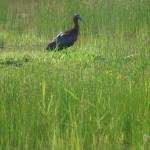 Ibisse und Löffler (Ibises and Spoonbills, Threskiornithidae)