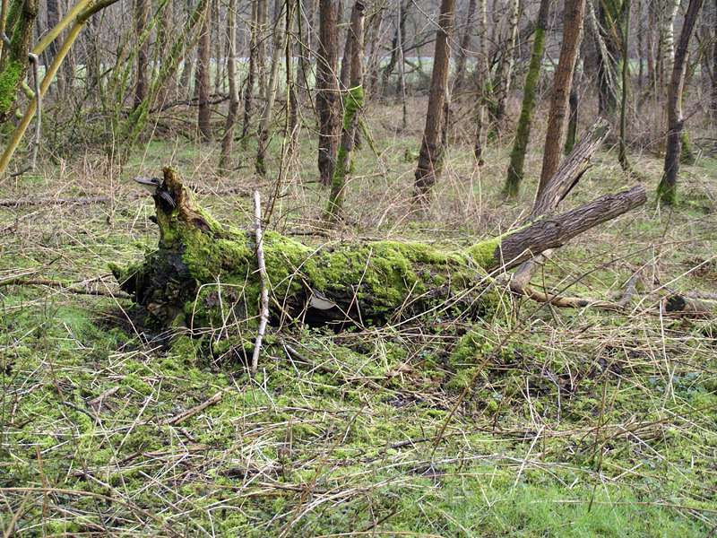 Totholz im NSG Dernkamp; Foto: 13.03.2009, Düsseldorf-Ludenberg