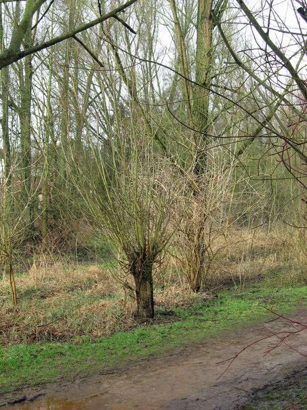 Kopfweide im Spätwinter im NSG Dernkamp; Foto: 13.03.2009, Düsseldorf-Ludenberg