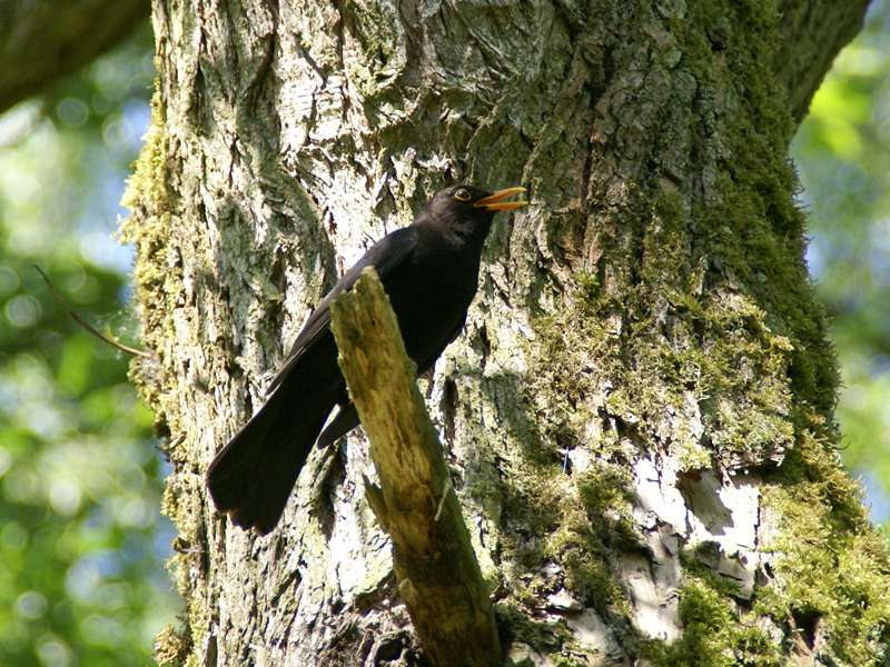 Singendes Amsel-Männchen (Turdus merula) im NSG Dernkamp; Foto: 10.05.2009, Düsseldorf-Ludenberg