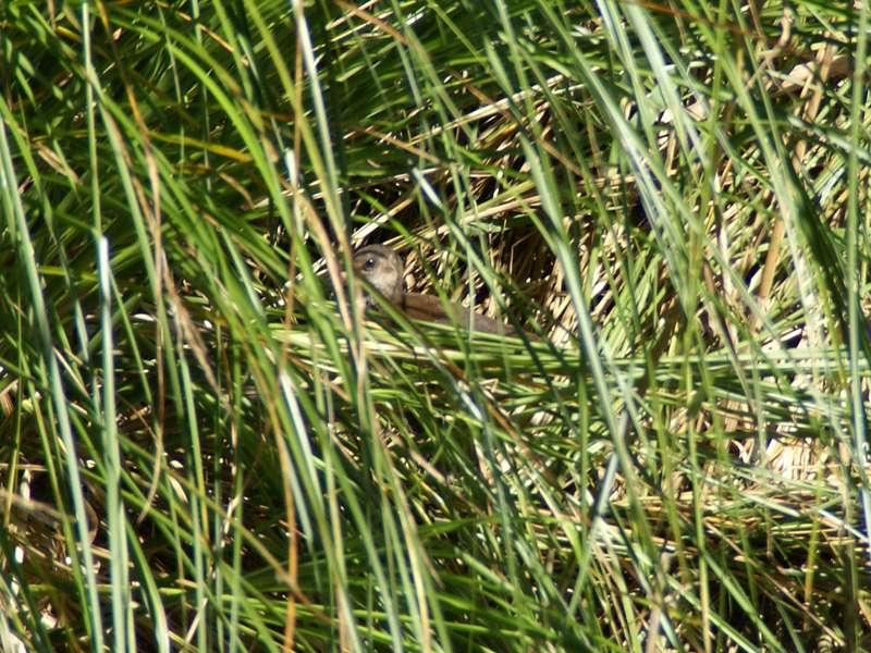 In der Vegetation verstecktes jugendliches Teichhuhn (Gallinula chloropus) im NSG Dernkamp; Foto: 23.08.2009, Düsseldorf-Ludenberg