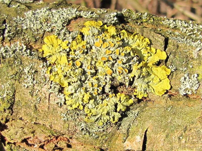 Gewöhnliche Gelbflechte (Xanthoria parietina) im NSG Dernkamp; Foto: 06.03.2010, Düsseldorf-Ludenberg