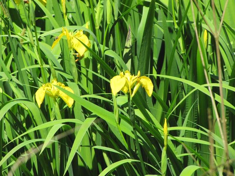 Sumpf-Schwertlilie (Iris pseudacorus) im NSG Dernkamp; Foto: 29.05.2010, Düsseldorf-Ludenberg