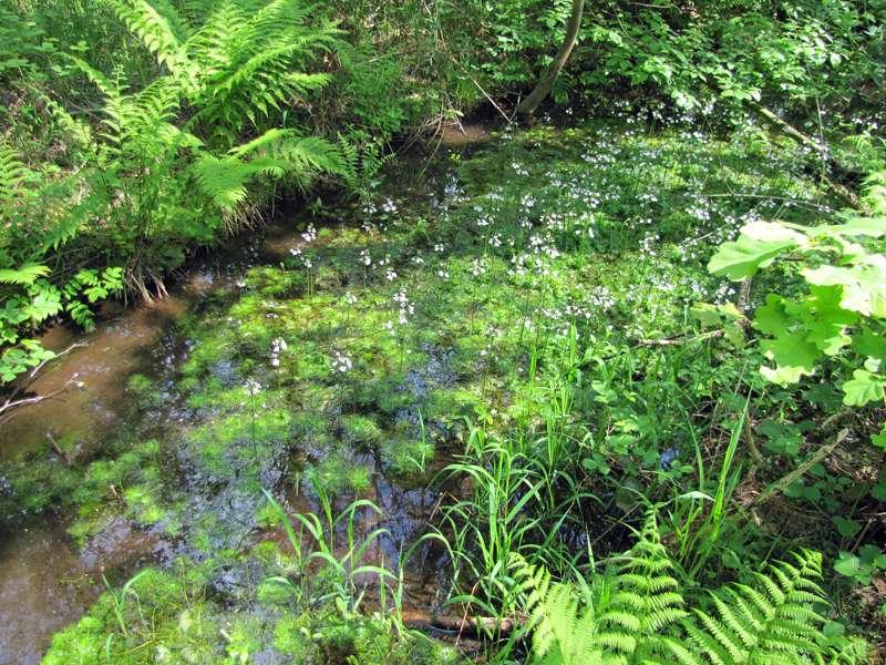 Kanal mit Europäischer Wasserfeder (Hottonia palustris) im Eller Forst; Foto: 16.05.2010, Düsseldorf-Unterbach