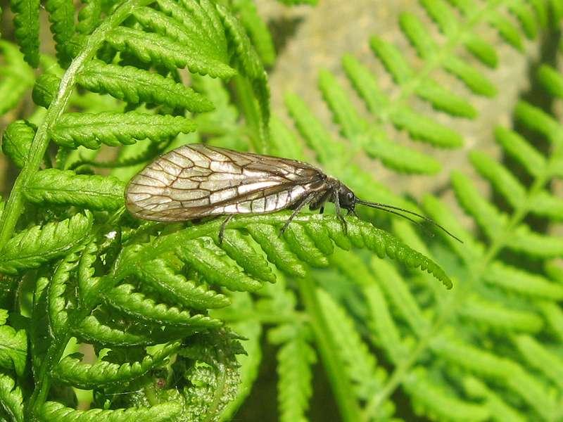 Wasserflorfliege (Sialis fuliginosa/lutaria/nigripes), Artenkomplex, im Eller Forst; Foto: 16.05.2010, Düsseldorf-Unterbach
