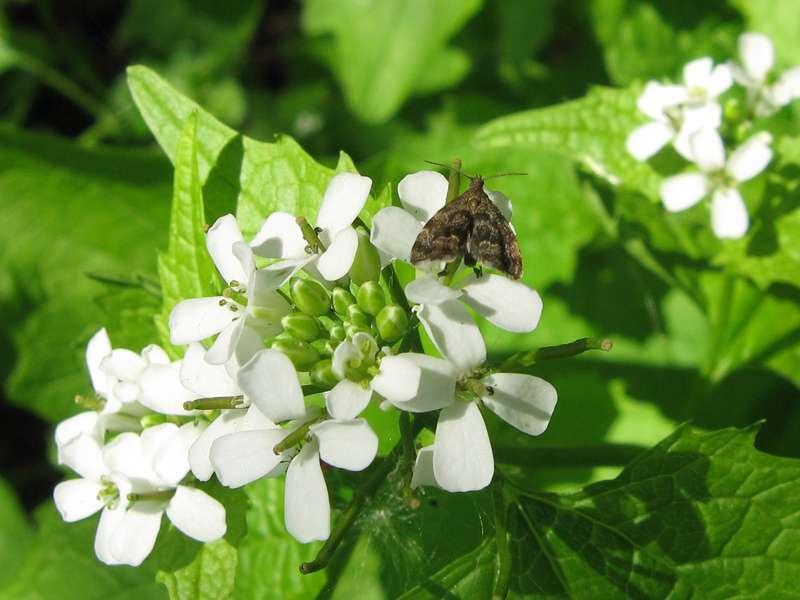 Rundstirnmotte (Anthophila fabriciana) auf Knoblauchsrauke (Alliaria petiolata) im Eller Forst; Foto: 16.05.2010, Düsseldorf-Unterbach