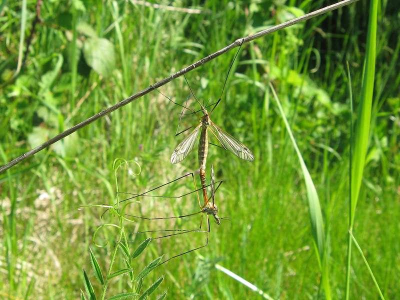 Kohlschnaken (Tipula oleracea) bei der Paarung nördlich des Düsseldorfer Flughafens; Foto: 11.05.2008, Düsseldorf-Kaiserswerth