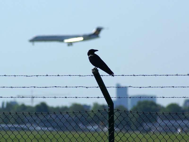 Rabenkrähe (Corvus corone) am Düsseldorfer Flughafen; Foto 11.05.2008, Düsseldorf-Kaiserswerth