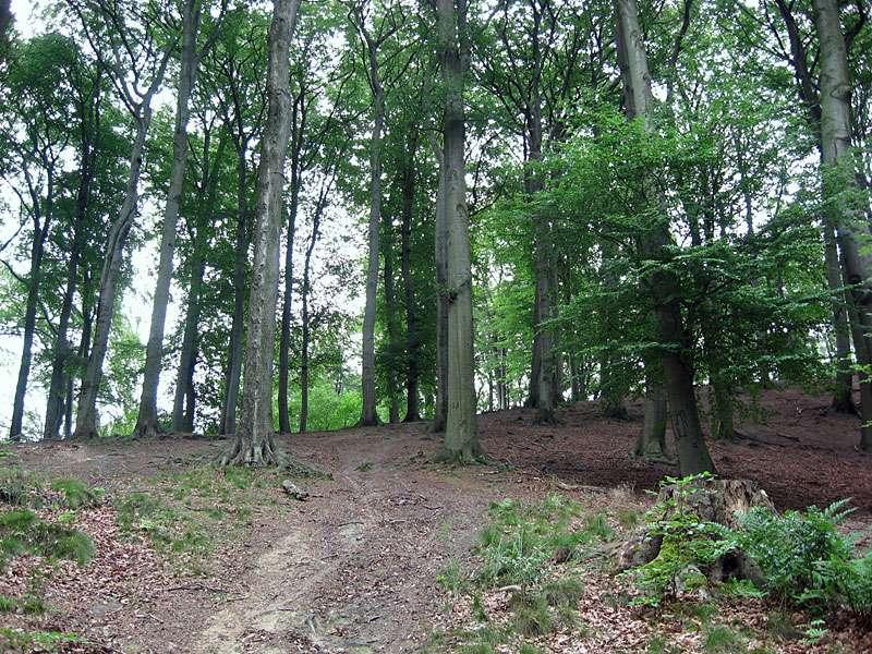 Auf dem Gallberg im gleichnamigen Naturschutzgebiet dominiert Buchenwald; Foto: 11.07.2011, Düsseldorf-Ludenberg