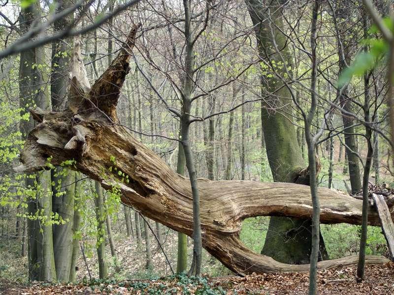 Umgestürzter Baum im Grafenberger Wald; Foto 20.04.2008, Düsseldorf-Ludenberg