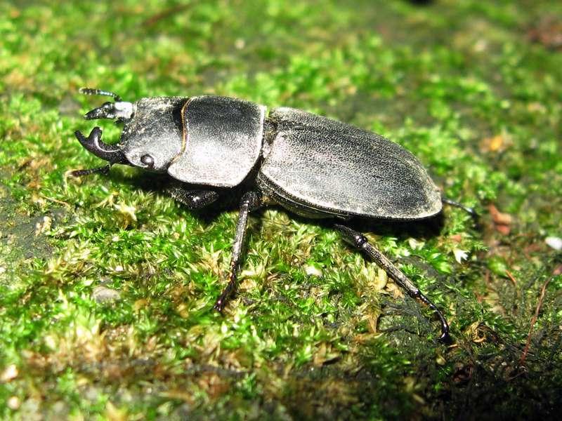 Balkenschröter (Dorcus parallelipipedus) im Grafenberger Wald; Foto: 09.08.2008, Düsseldorf-Ludenberg