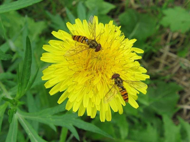 Hainschwebfliegen (Episyrphus balteatus) am Rheinufer Hamm; Foto: 28.06.2008, Düsseldorf-Hamm