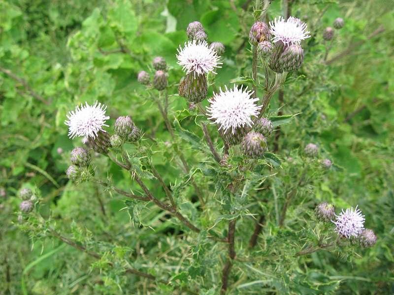 Acker-Kratzdistel (Cirsium arvense) am Rheinufer Hamm; Foto: 28.06.2008, Düsseldorf-Hamm