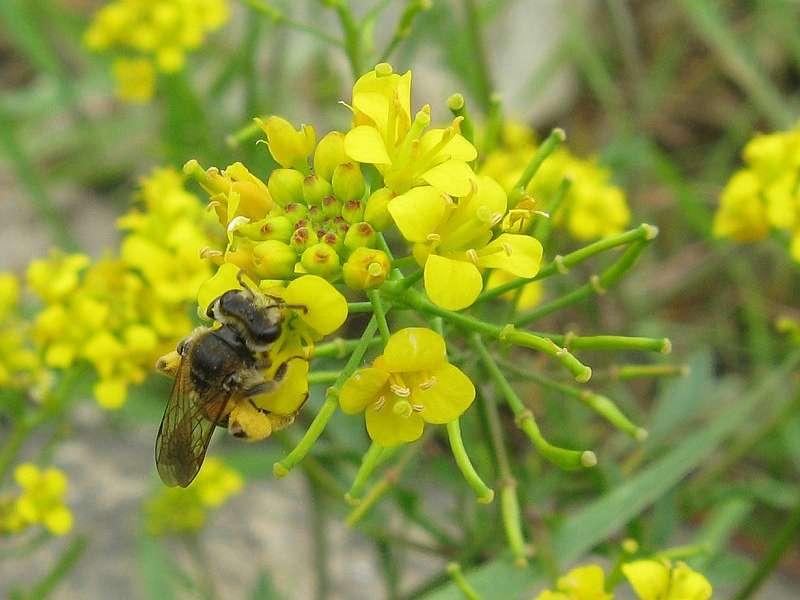 Acker-Schöterich (Erysimum cheiranthoides) am Rheinufer Hamm; Foto: 28.06.2008, Düsseldorf-Hamm