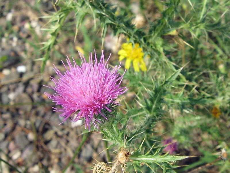 Unbestimmte Pflanze Nr. 2 am Rheinufer Hamm; Foto: 31.08.2008, Düsseldorf-Hamm