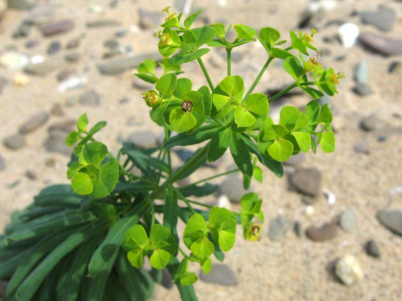 Wolfsmilch (Euphorbia sp.) am Rheinufer Hamm; Foto: 31.08.2008, Düsseldorf-Hamm