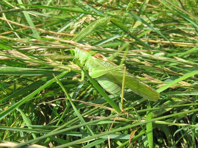Männliches Grünes Heupferd (Tettigonia viridissima) am Rheinufer Hamm; Foto: 21.07.2009, Düsseldorf-Hamm