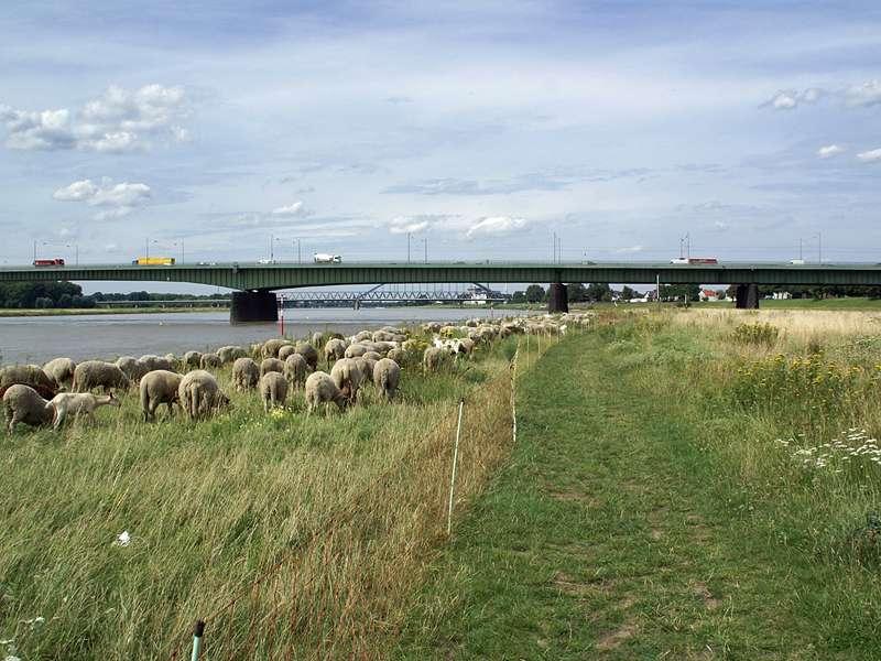 Rheinaue Hamm mit Blick auf die Josef-Kardinal-Frings-Brücke; Foto: 21.07.2009, Düsseldorf-Hamm