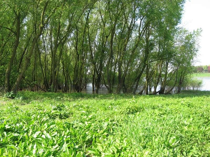Bäume an einem überfluteten Uferabschnitt am Himmelgeister Rheinbogen; Foto: 04.05.2008, Düsseldorf-Himmelgeist