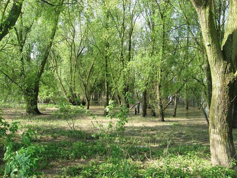 Auwald im Naturschutzgebiet Himmelgeister Rheinbogen; Foto: 04.05.2008, Düsseldorf-Himmelgeist
