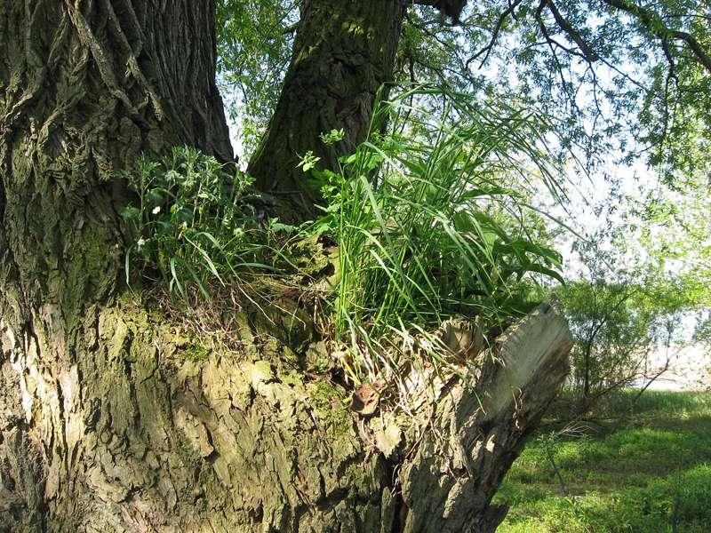 Bewuchs auf einem Baum am Himmelgeister Rheinbogen; Foto: 04.05.2008, Düsseldorf-Himmelgeist