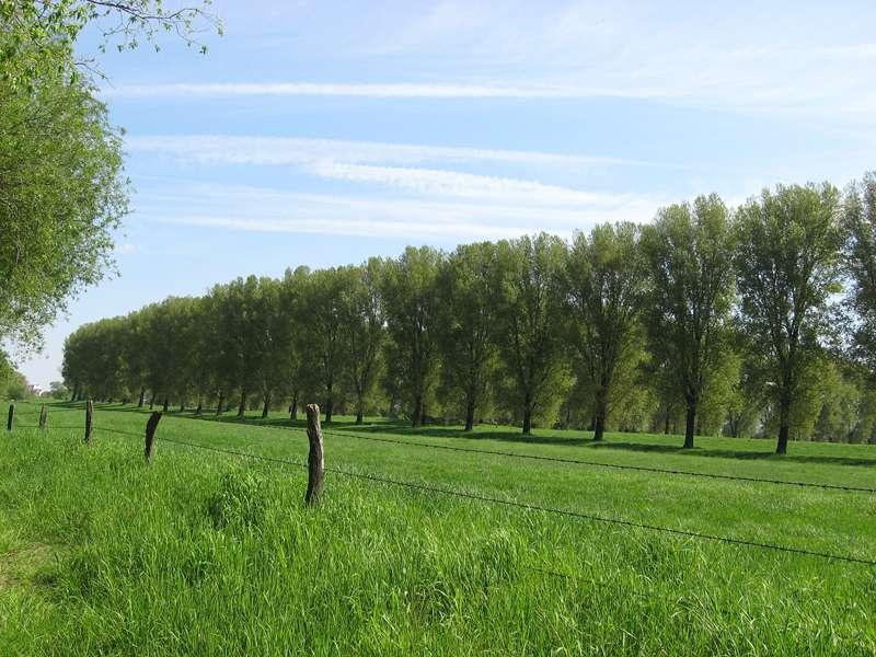 Pappelreihe im Naturschutzgebiet Himmelgeister Rheinbogen; Foto: 04.05.2008, Düsseldorf-Himmelgeist