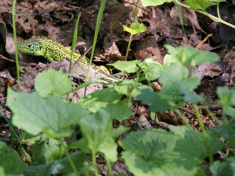 Männliche Zauneidechse (Lacerta agilis) am Himmelgeister Rheinbogen; Foto: 01.05.2009, Düsseldorf-Himmelgeist