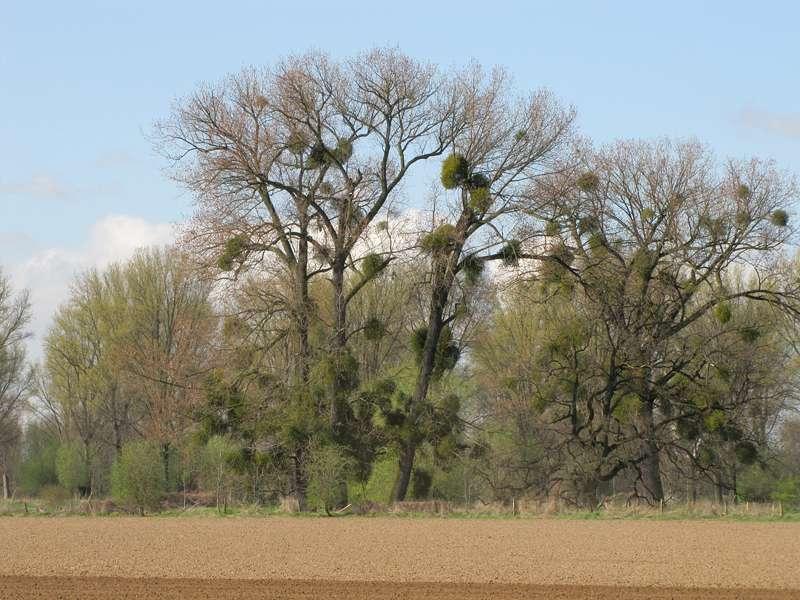 Bäume mit Weißeerigen Misteln (Viscum album) am Himmelgeister Rheinbogen; Foto: 10.04.2010, Düsseldorf-Himmelgeist