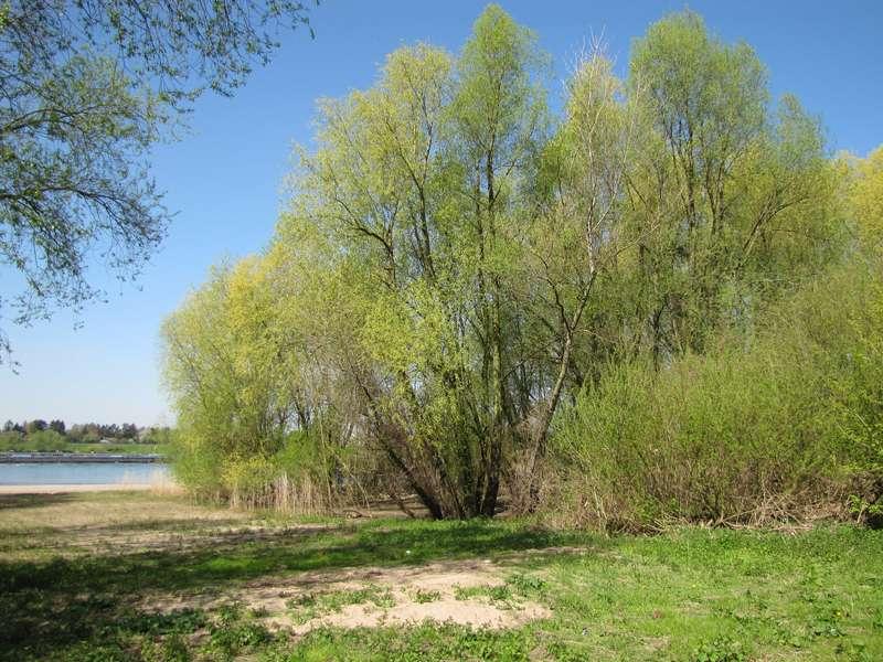 Frühlingsgrün am Rheinufer am Himmelgeister Rheinbogen; Foto: 18.04.2010, Düsseldorf-Himmelgeist