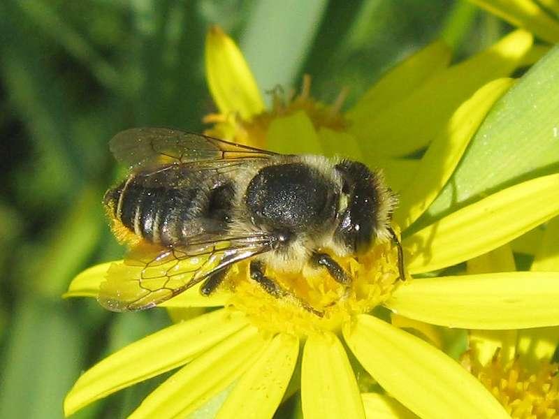 Wildbiene auf einer Arnika-Blüte (Arnica montana); Foto: 05.07.2008, Düsseldorfer Hafen
