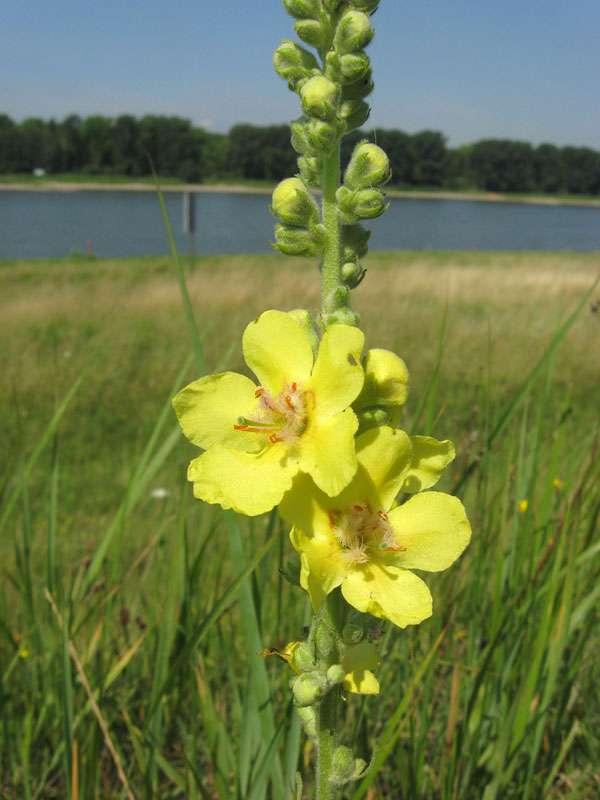 Großblütige Königskerze (Verbascum densiflorum) am Rheinufer Lausward; Foto: 05.07.2008, Düsseldorfer Hafen