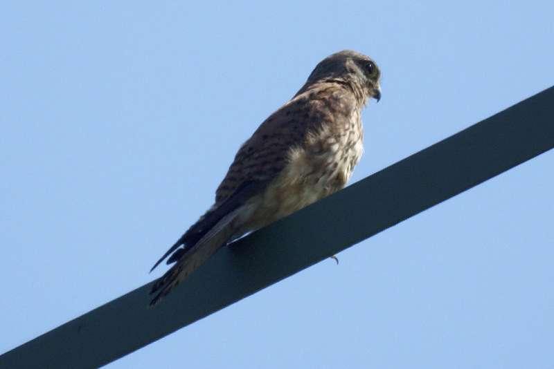 Turmfalke (Falco tinnunculus) am Rheinufer Lausward; Foto: 05.07.2008, Düsseldorfer Hafen