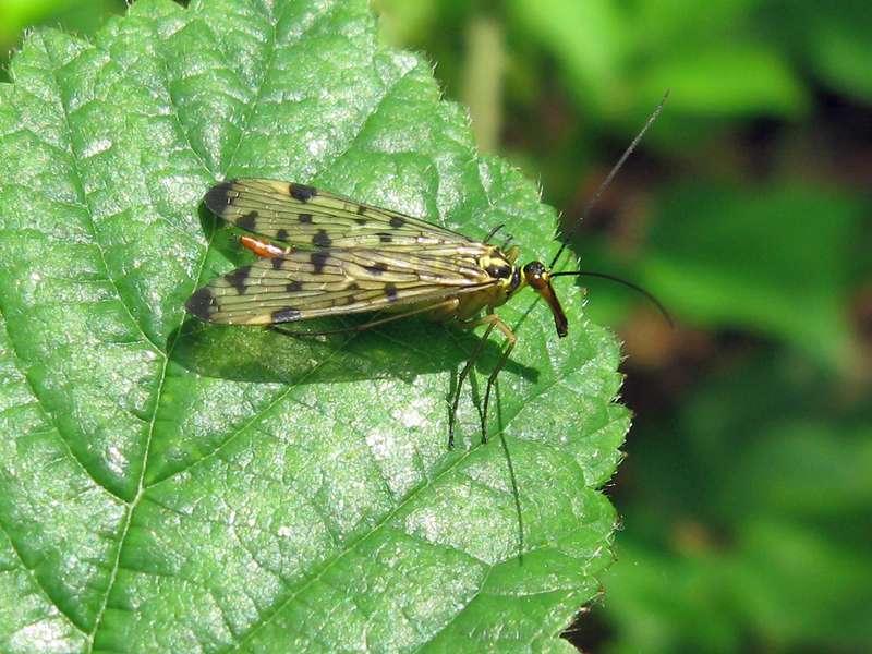Weibliche Gewöhnliche Skorpionsfliege (Panorpa communis) im NSG Pillebachtal; Foto: 16.05.2009, Düsseldorf-Ludenberg