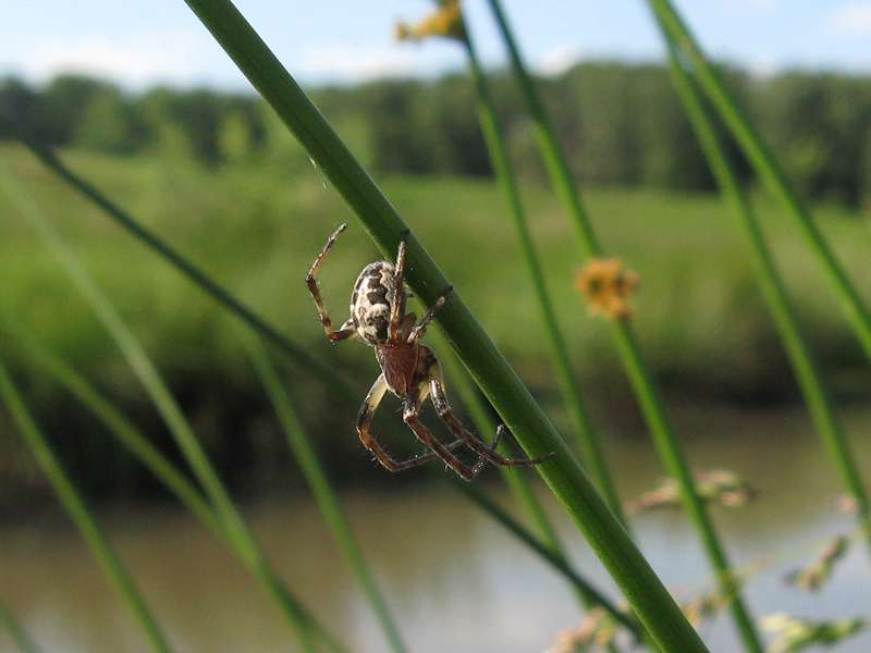 Schilfradspinne (Larinioides cornutus) im NSG Pillebachtal; Foto: 29.05.2009, Düsseldorf-Ludenberg