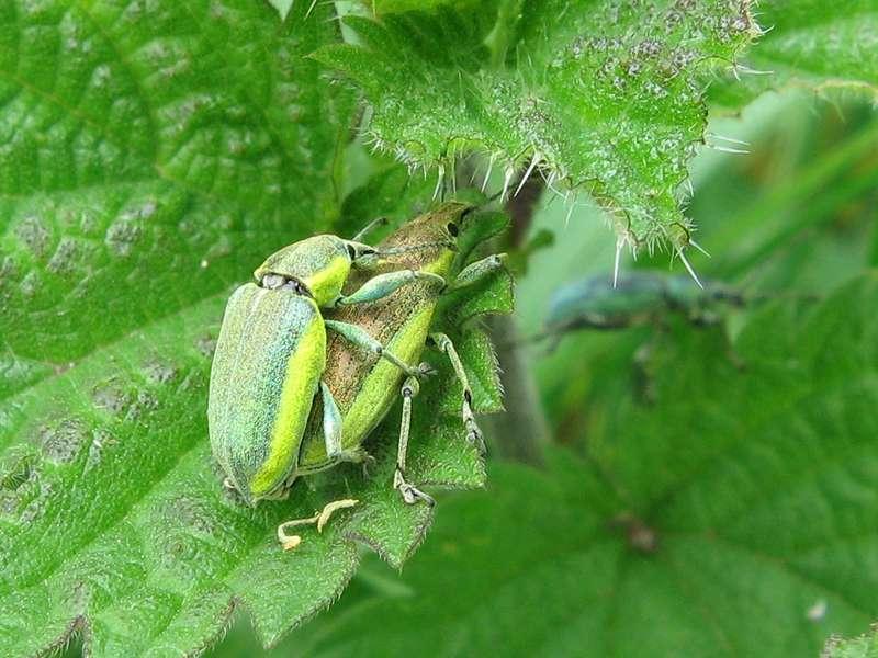 Gelbrandrüssler (Chlorophanus viridis) im NSG Pillebachtal; Foto: 16.05.2009, Düsseldorf-Ludenberg