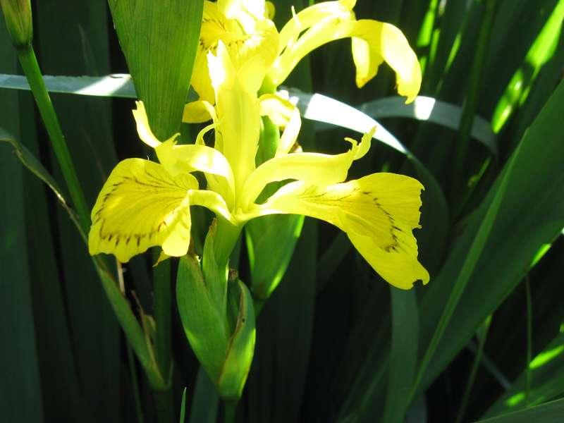 Blühende Sumpf-Schwertlilie (Iris pseudacorus) im NSG Pillebachtal; Foto: 29.05.2009, Düsseldorf-Ludenberg